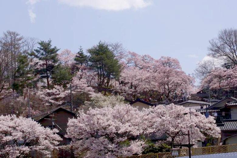 高遠の桜03.jpg